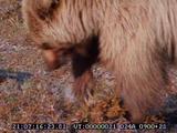 Grizzley Bear, Burying Dead Moose Calf, Predation,