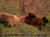Grizzly Bear, Adult Male And Female Courting