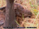 Moose, Birth, Newborn Calf, Mother