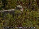 Wolf, Predation, Moose, Calf, Mother, In River, Avoiding Predator