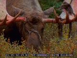 Moose, Rut, Bull, Male, Antlers, Velvet