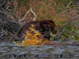 Beaver, Swimming, In Water, Holding Branch In Mouth