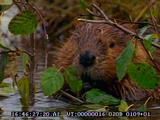 Beaver, Swimming, In Water, Nibbling Branch, Eating, Foraging