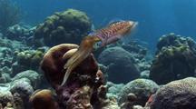 Caribbean Reef Squid, Sepioteuthis Sepioidea, Mating