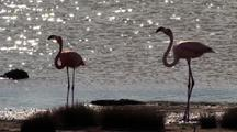 Caribbean Flamingos Feeding
