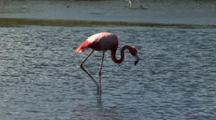 Caribbean Flamingo Feeding