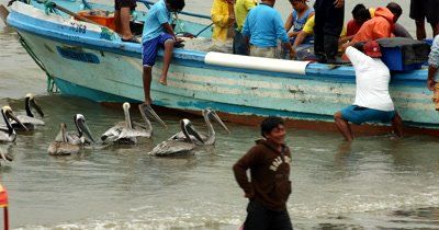 Medium Shot of Fishermen off loading their catch of the day at Puerto Lopez fish market, with Pelican Birds,Pelecanus bobbing in the water, hoping to catch some scraps.