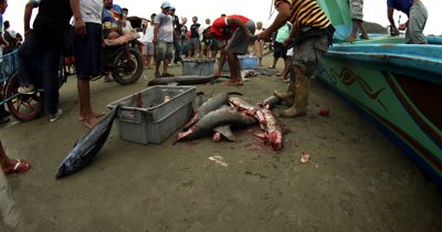 Close Up shot of Hammerhead Sharks,Sphyrna lewini, guttered and their heads chopped off, at the Fish Market at Puerto Lopez.