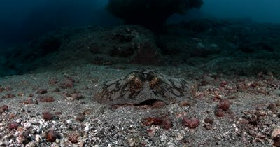 A Ray,Spiny roundray, Urotrygon munda,swims out of frame,