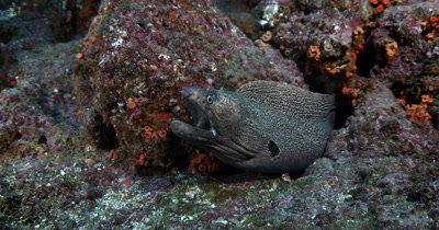MS of a Giant Moray Eel, Gymnothorax javanicus  with a gaping mouth