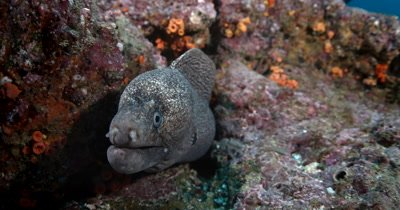 CU of a  Giant Moray Eel, Gymnothorax javanicus  with a gaping mouth