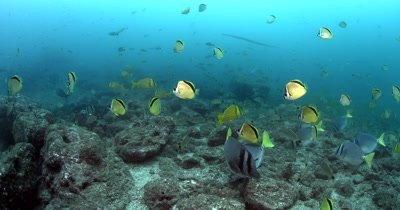 Schools of Razor Surgeonfish, Blacknosed butterflyfish or Barberfish, Johnrandallia nigrirostris, Cardinal Fish, Apogon fuscus, Snappers, Lutjanus sp, Trumpetfish, Aulostomus sp