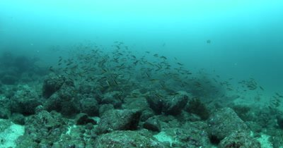 A Medium Shot of a School of Ring Wrasse Spawning.