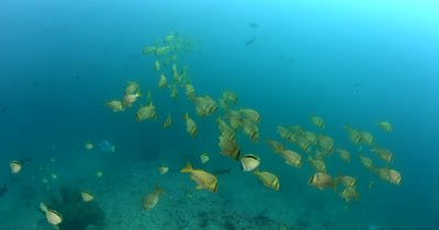 Medium shot of a school  of Porkfish, Anisotremus virginicus swim by