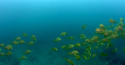 Medium Shot of a school  of Porkfish, Anisotremus virginicus swim through the Thermocline.