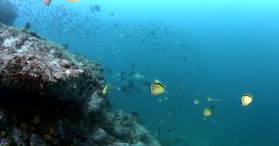 Medium shot of Blacknosed Butterflyfish, Johanrandallia nigiriostris and some reef fish