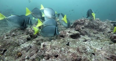 A Medium Shot of Razor Surgeonfish, Prionurus laticlavius