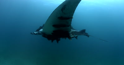A Wide Shot of a Giant Manta Ray, Manta birostris, that is heavily laden with Remora remora's, glides past the camera and out of shot.