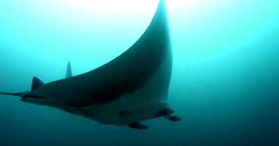 A Wide Shot of a Giant Manta Ray, Manta birostris, with a Remora remora's on its back, glides past the camera and then turns around to look at the camera.