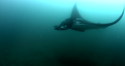 A Wide Shot, side view, of a silhouette of a Tagged Giant Manta Ray, Manta birostris, with some Remora remora's attatched, glides past the camera.