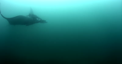 A Wide Shot, side view of a Tagged Giant Manta Ray, Manta birostris, with some Remora remora's attatched, glides past the camera.