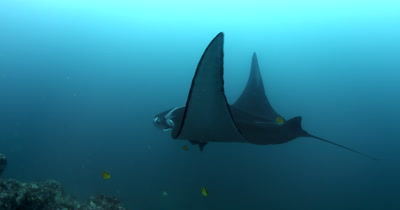 A Medium Shot of a Giant Manta Ray, Manta birostris, that is  being cleaned by Blacknosed butterflyfish, Johanrandallia nigrirstris as it glides in the sea.