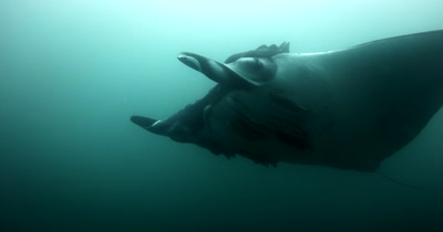 A Close Up Shot of a Tagged Giant Manta Ray, Manta birostris, that is heavily laden with Remora remora's, glides right past the camera.