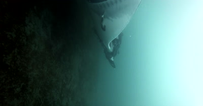 A Vertile, Medium Shot of a Tagged Giant Manta Ray, Manta birostris, that is heavily laden with Remora remora's, glides right past the camera.