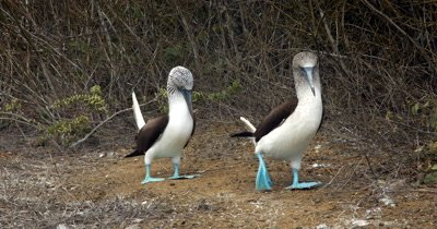 A blue footed Booby picks up a twig for its mate.