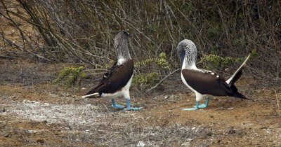 Two courting Blue Footed Booby's