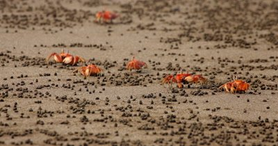 A Medium Shot of feeding Red Crabs,Ghost Crab (Ocypode sp) scurrying sideways across Isla de la Plata beach sand.