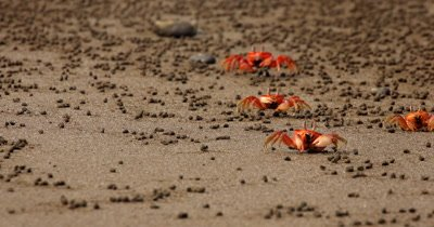 A Close Up Shot of feeding Red Crabs,Ghost Crab (Ocypode sp) scurrying sideways across Isla de la Plata beach sand.