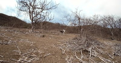 A Wide Shot of Blue Footed Booby's, Sula nebouxii in their Dry bush enviroment of Isla de la Plata