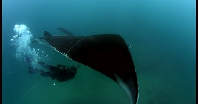 Medium shot showing Rescue of a Giant Manta Ray, Manta birostris, that is entangled with thick fishing line. The diver works quickly  cutting off pieces of the thick fishing line.