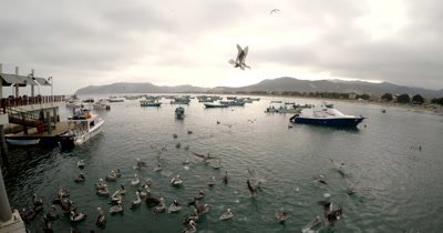Wide Shot of the harbor of Puerto Lopez with Pelicans flying.