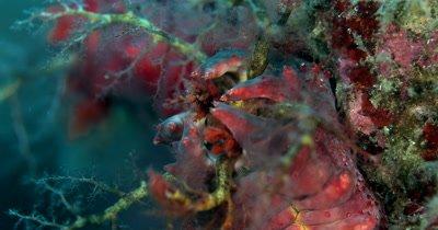 CU shot of Tentacles of Sea Cucumber,Colochirus crassus, feeding