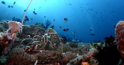 MS Reef beauty shot school of Clark's Anemonefish,,Amphiprion clarkii,  on anemone