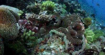 CU Reef beauty shot school of Clark's Anemonefish,Amphiprion clarkii, on anemone