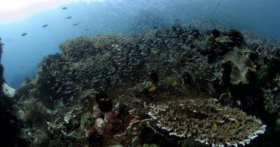 WS Schooling, swarming, Largespined Glassfish,Ambassis macracanthus