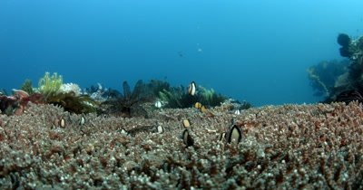 XCU Damselfish dancing on Table coral while two Banner fish pass by, Dascyllus reticulatus and Two  Heniochus varius