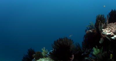 Reveal shot of  Damselfish,Dascyllus reticulatus , dancing on Table coral