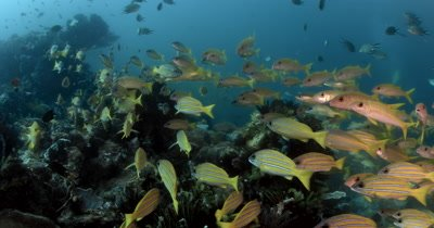 MS Schooling fish Bluelined Snapper,Yellowfin Goatfish,Scissor-Tailed Fusilier and Whitebelly Damsel searching for food,Lutjanus kasmira ,Mulloidichthys vanicolensis, Caesio caerulaurea ,Amblyglyphidodon leucogaster