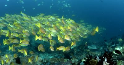 WS Schooling fish Bluelined Snapper,Yellowfin Goatfish,Scissor-Tailed Fusilier and Whitebelly Damsel searching for food,Lutjanus kasmira ,Mulloidichthys vanicolensis, Caesio caerulaurea ,Amblyglyphidodon leucogaster