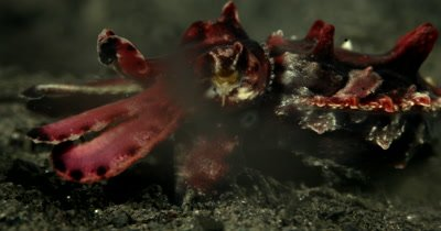 XCU Flamboyant Cuttlefish,Metasepia pfefferi,  marching on sea sand displaying changing body colors