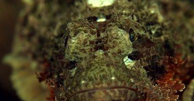 XCU of grumpy Tasseled Scorpionfishes,Scorpaenopsis oxycephala, face