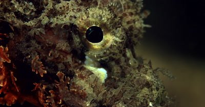 XCU of  Tasseled Scorpionfishes eye, Scorpaenopsis oxycephala
