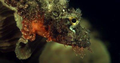 CU Side view of grumpy Tasseled Scorpionfish,Scorpaenopsis oxycephala