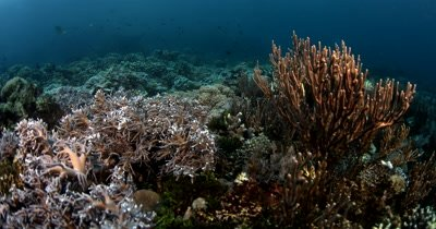 WS Tracking shot of Thriving reef with soft and hard corals and reef fish
