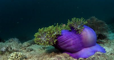 MS False clown Anemonefish on Lilac Magnificent Sea Anemone,Amphiprion ocellaris on Heteractis magnifica