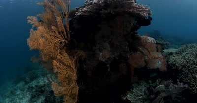 WS Reveal beauty shot of Stony and Staghorn corals, Acroporidae sp, with reef fish.